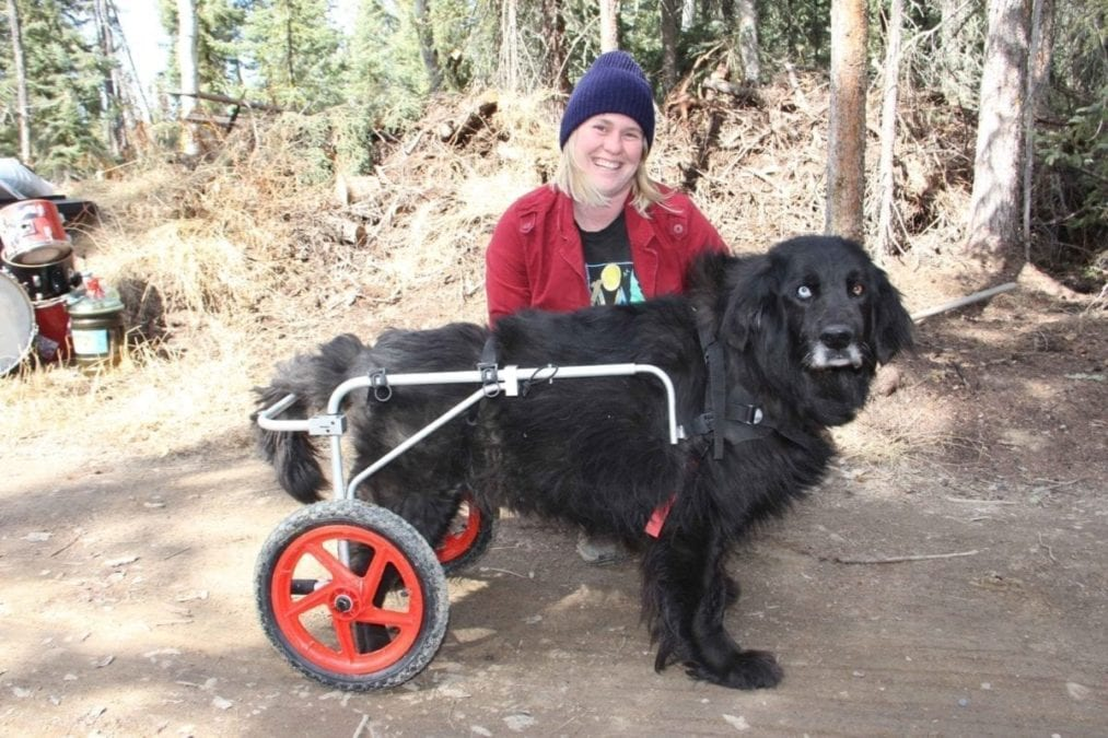 Kim Rapati demonstrates the 'wheelchair' that she and her partner bought for their dog, Floyd, who was having difficulty moving around after his hind legs began to lose their strength. Paul Bickford/NNSL photo